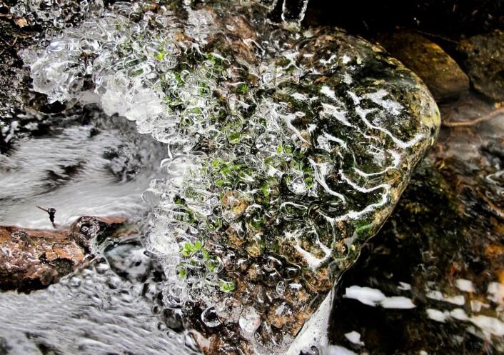 Den hadde en siste overraskelse til oss før vi forlot den med løfter om å komme tilbake med vadestøvler: Helt ekte blomus kålus steinmosus. Har du sett noe så nydelig? Foto: Katja Johanne Pihl
