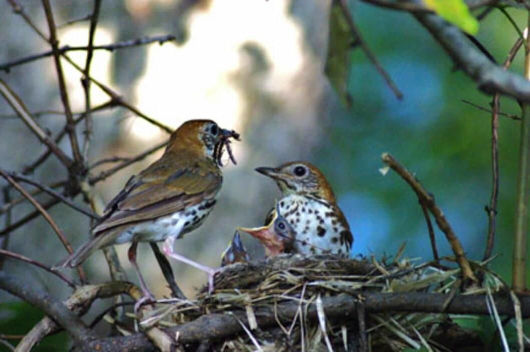 På våren er fuglene spesielt utsatte. Her er måltrostmor og -far i gang med matingen. Foto: Pixnio