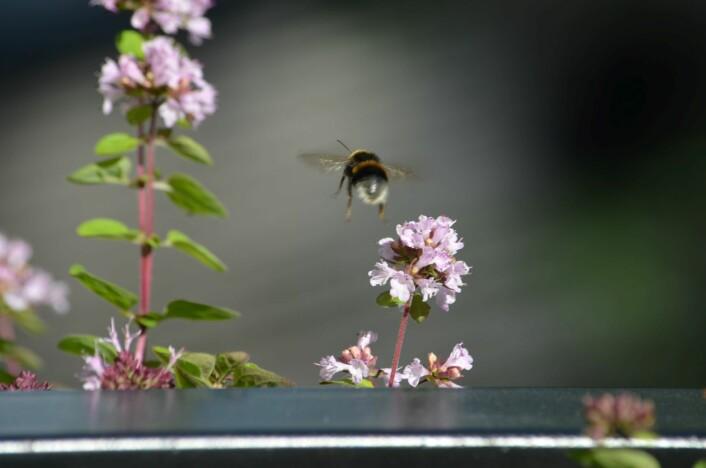 Humlene overlever lettere hvis de har rikelig med mat tilgjengelig. Derfor hjelper det å plante blomster på balkongen. Foto: Heidi Sørensen