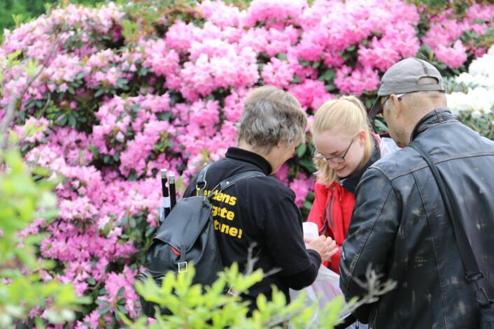 Leting etter humler i rododendronene i Botanisk hage. Foto: Inge Madsen