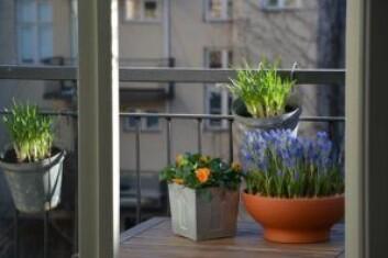 Om våren liker humlene krokus. Humlesnadder på sommeren kan være forglemmegei, solhatt, ridderspore, lavendel og krydderurtene timian, mynte og oregano. Foto: Heidi Sørensen