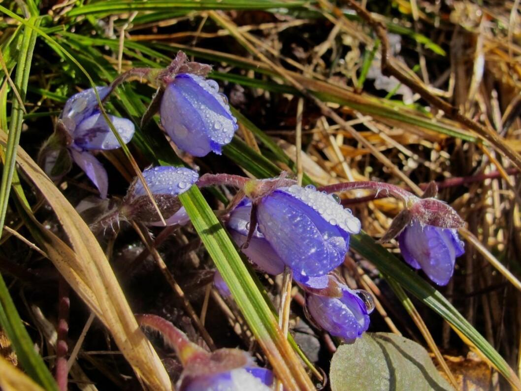 Blåveisen i Hauktjern friluftsområde frøs på tærne. Foto: Søstrene Pihl