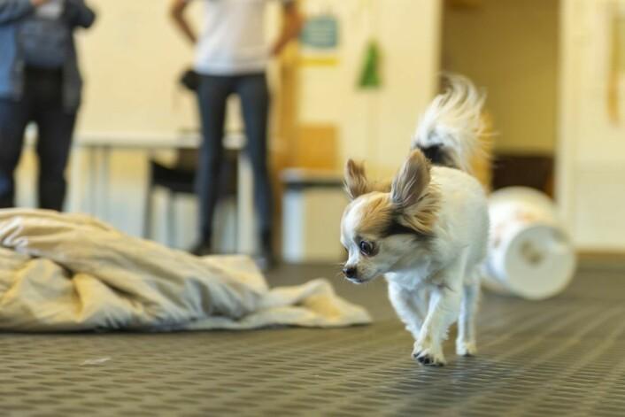 Backup ble nesten drept av en annen hund i Frognerparken. Her er han en trygg chihuaha som tar seg til til å lukte på alt det spennende som ligger i rommet. Foto: Morten Lauveng Jørgensen