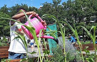 Lokal ungdom fra Gamle Oslo og Grünerløkka dyrker grønnsaker og jordbær på Vaterland