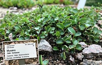 Vokser verdens minste tre i Botanisk hage på Tøyen?