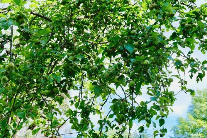 Den forlatte presteboligen har en erverdig eplehage som fremtidige ungdommer kan nyte. Foto: Emilie Pascale