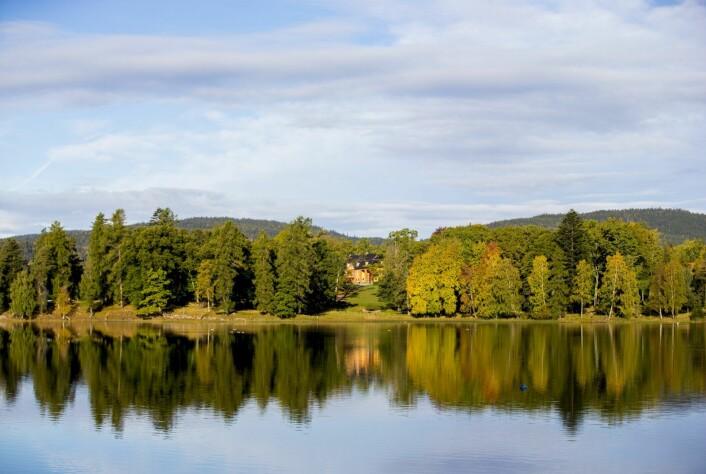 Langs Bogstadvannet og innover Sørkedalen er mange trær i fare for å bli utryddet av plantesykdommen Phytophtora. Foto: Vegard Wivestad Grøtt / NTB scanpix