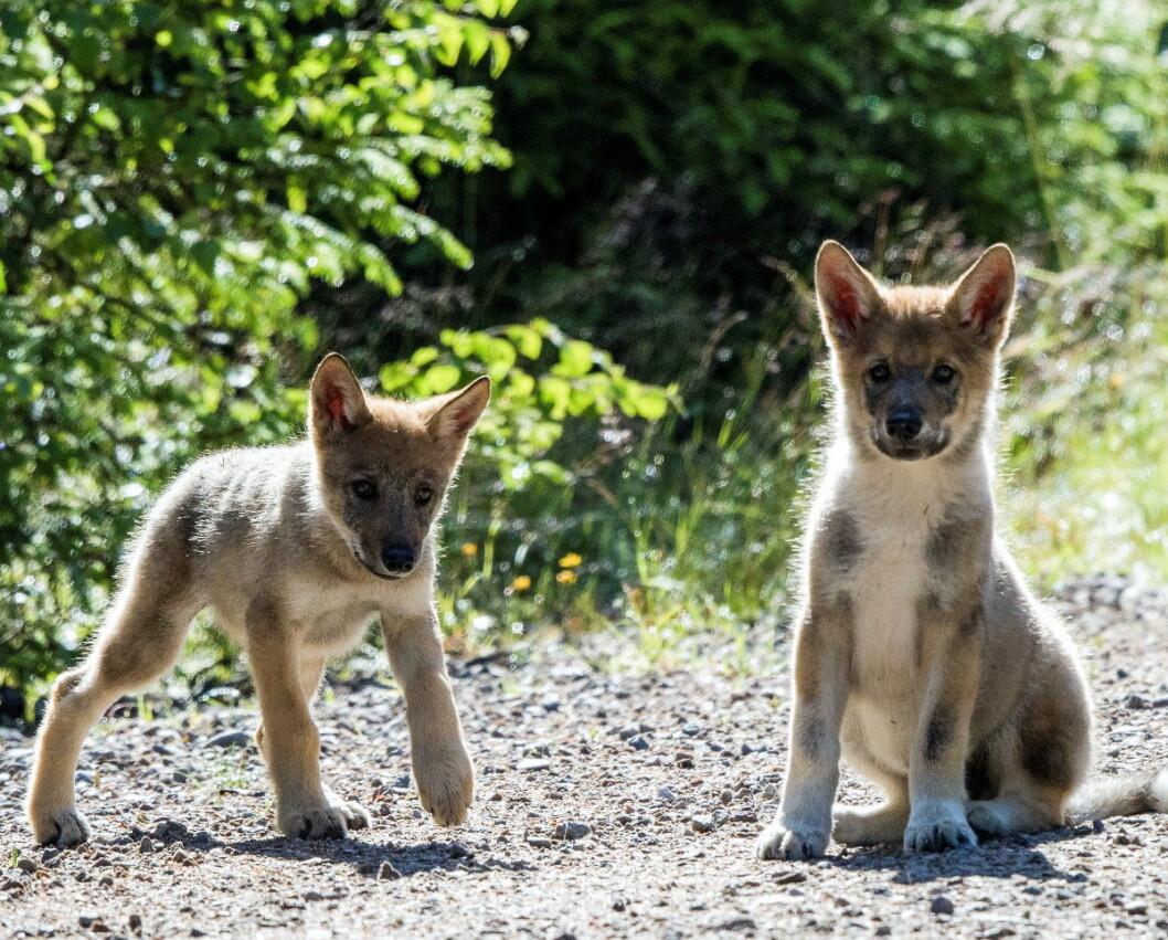 Onsdag ble det observert et nytt kul ulvevalper i Østmarka. Disse ulvevalpene ble avbildet på Elverum i 2017. Foto: Terje Håheim / NTB scanpix