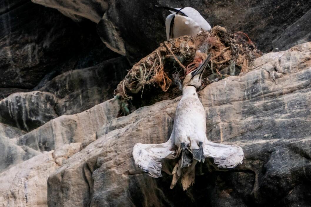 80 prosent av all plast i verden havner på fyllinger eller i havet. Statsminister Erna Solberg reagerte nylig kraftig da hun så denne døde havsulen som henger i fiskegarn av plast på fuglefjellet på Runde under sin reise på valgkampturné på Vestlandet. Foto: Heiko Junge / NTB scanpix