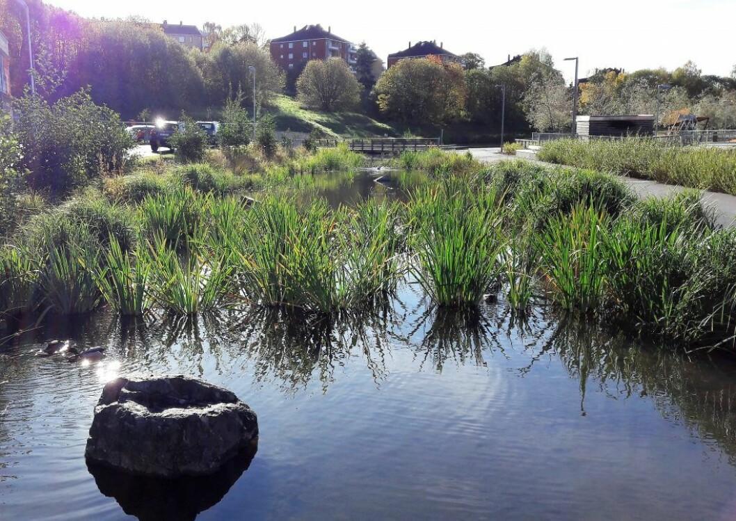 Oppstrøms i gjenåpnede Hovinbekken, ved Teglverksdammen, er det plantet ut tett med vannplanter som filtrerer vannet. Nå ønsker artikkelforfatterne en lignende gjenåpning av Torshovbekken. Foto: Anders Høilund