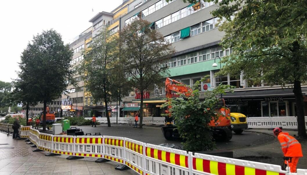 Trærne i Olav Vs gate før felling.