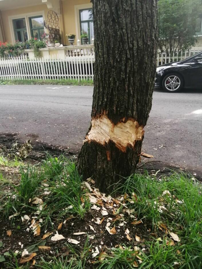 Flere av trærne langs Geitmyrsveien har slike merker. Foto: Sara Greer Middelthon Moe