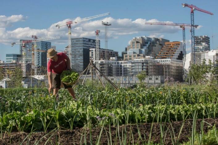 Oslos bybonde høster fra åkeren på Losæter i Bjørvika. Foto: Clare Keogh/Europakommisjonen