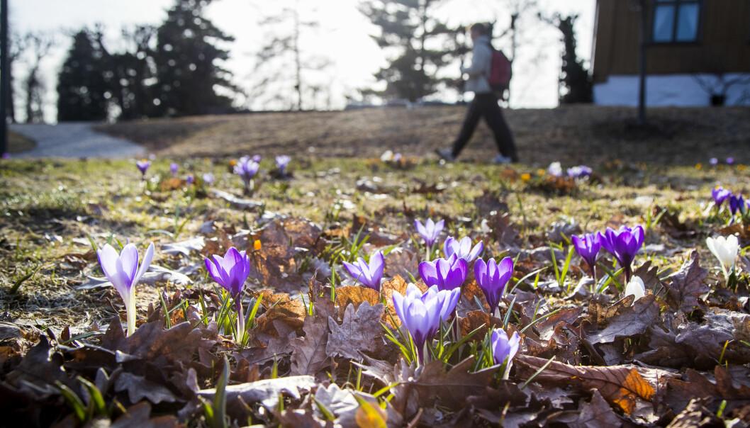 Etter en lang vinter blomstrer vårblomstene, her krokusen, i Botanisk Hage.