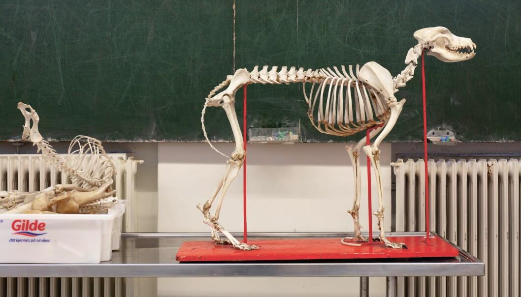 På Veterinærhøgskolen brukes skjeletter av små og store dyr fremdeles i undervisningen.