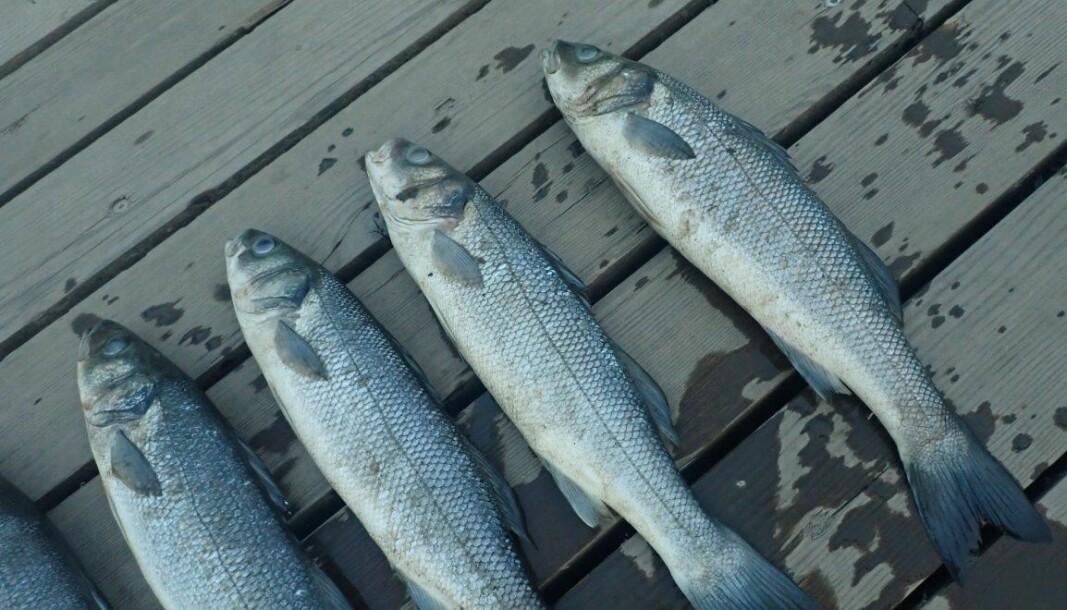 Her er de mystiske fiskene som ble funnet døde i og ved Teglverksdammen på Hasle.