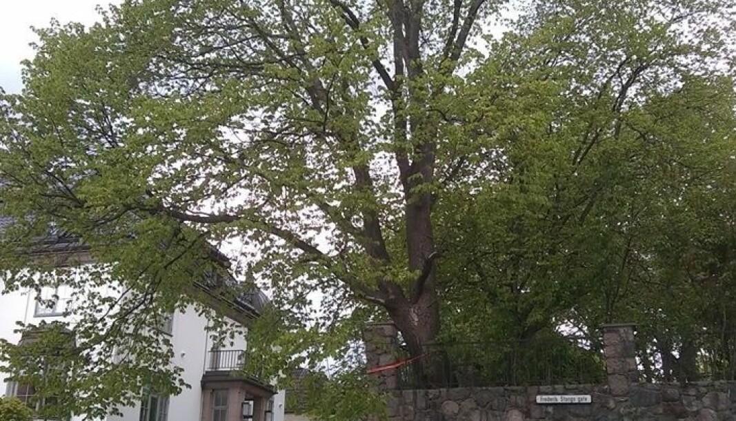 — Naboer i området er bekymret for fremtiden til det over hundre år gamle treet, sier Peder Ressem Østring (Rødt).
