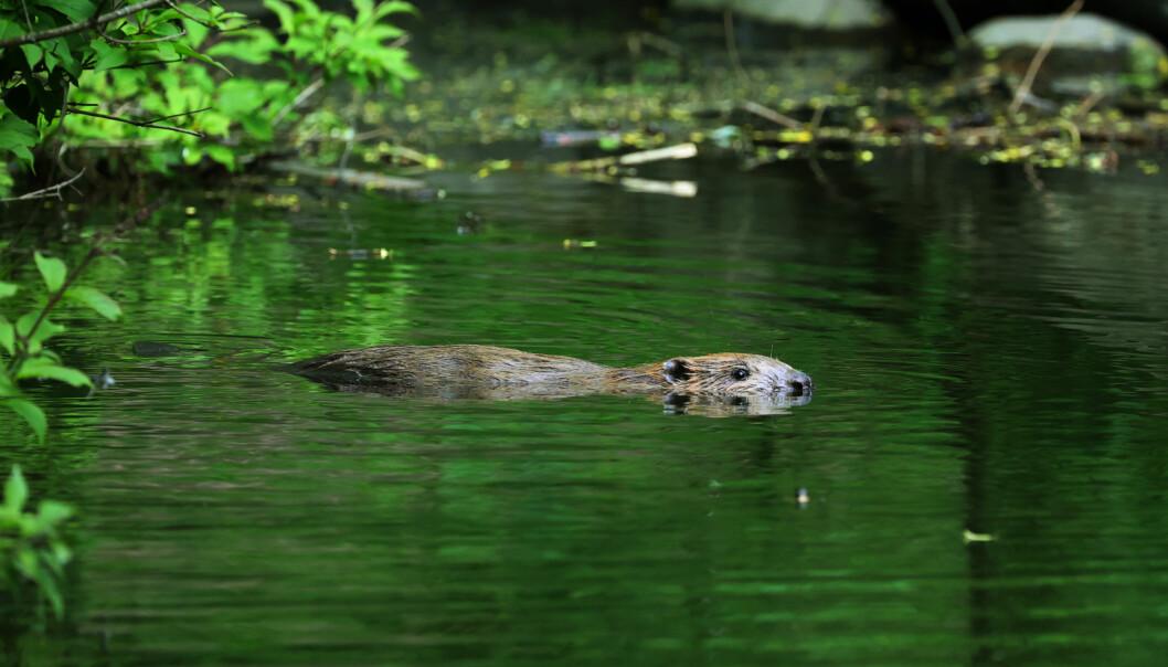 Denne beveren har tatt seg til rette og tilsynelatende gjort Frognerparken til sitt nye habitat.