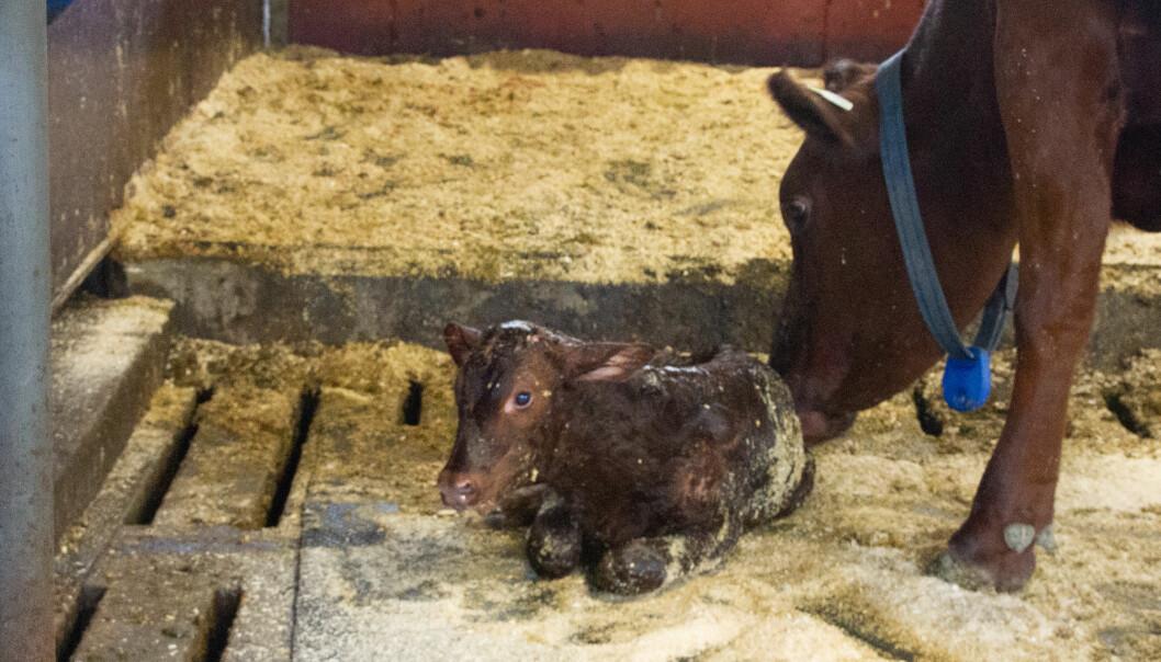Ku og kalv rett etter kalvingen på kongsgården.