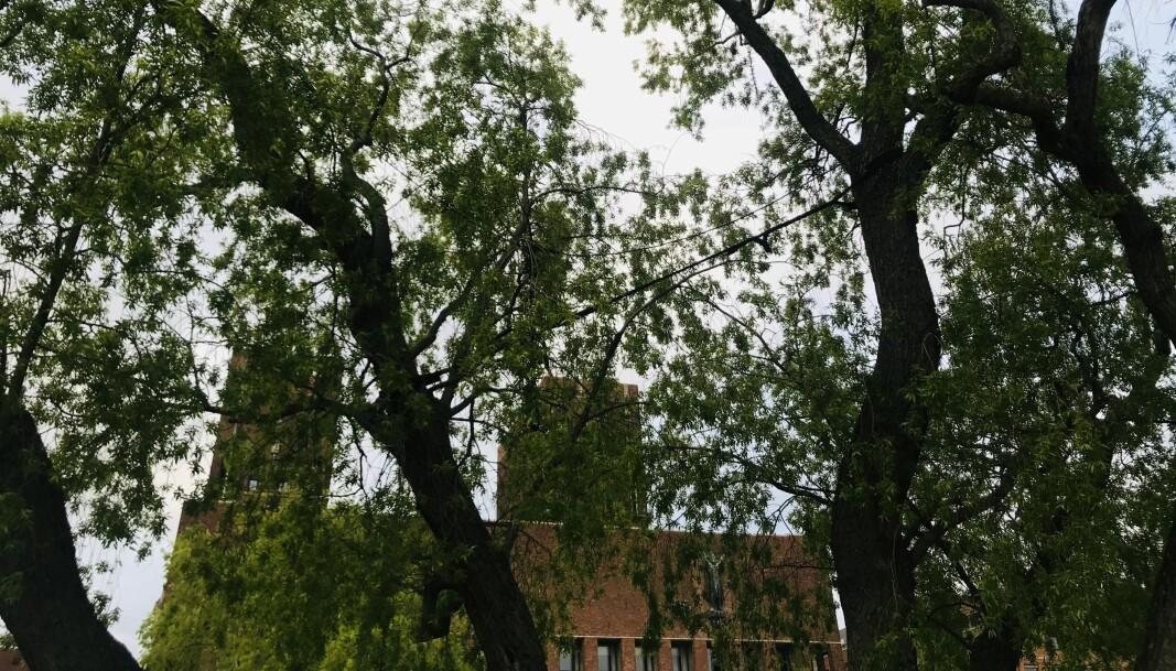Politikerne på Rådhuset må legge en strategi for byens trær, mener skribentene.