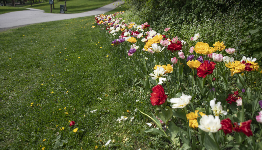 Blomsterbedene lyser mot deg i bydelens parker for tiden.
