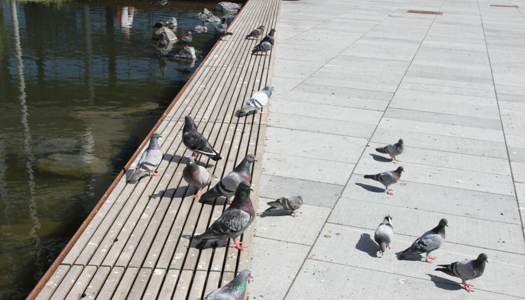 Benken ved dammen på Ensjø torg er full av duebæsj.
