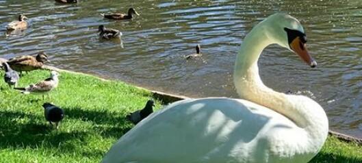– Hundeeiere og folk flest – ta bedre vare på svanene i Frognerdammen