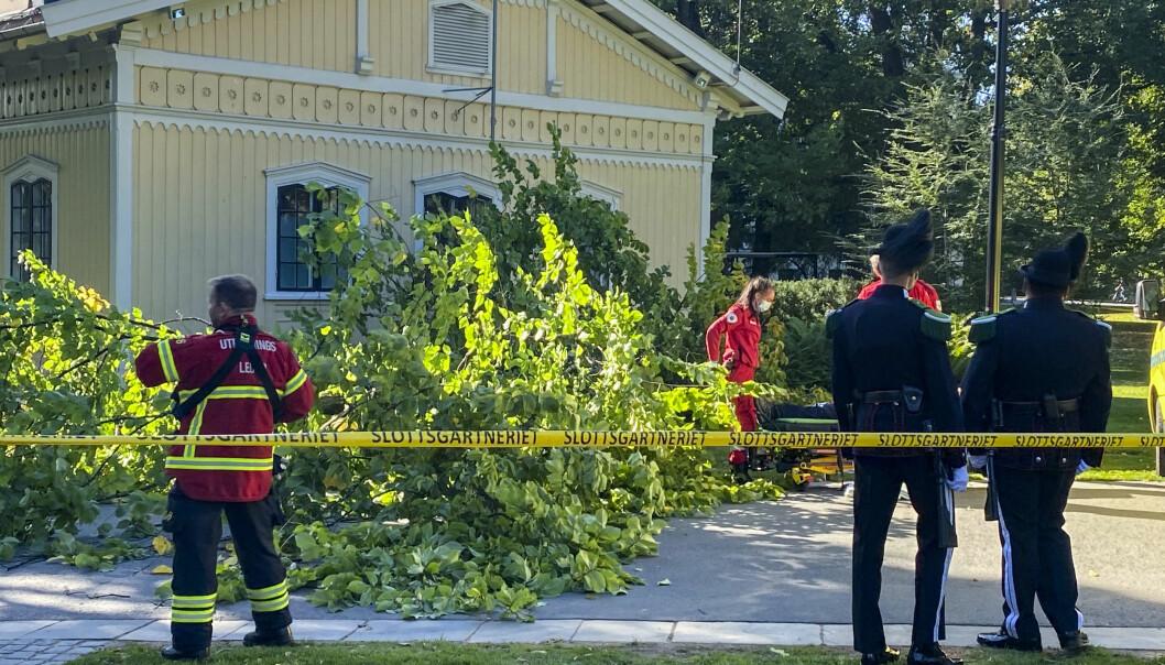 En mann ble lettere skadd da han fikk dette treet over seg i Slottsparken i Oslo onsdag ettermiddag.