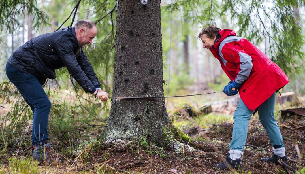 Richard Wood som er britisk ambassadør til Norge og Oslo-ordfører Marianne Borgen (SV) sager treet som skal stå på Trafalgar Square i London i jula. Treet sto ved Hønefoten i Maridalen i Oslo.
