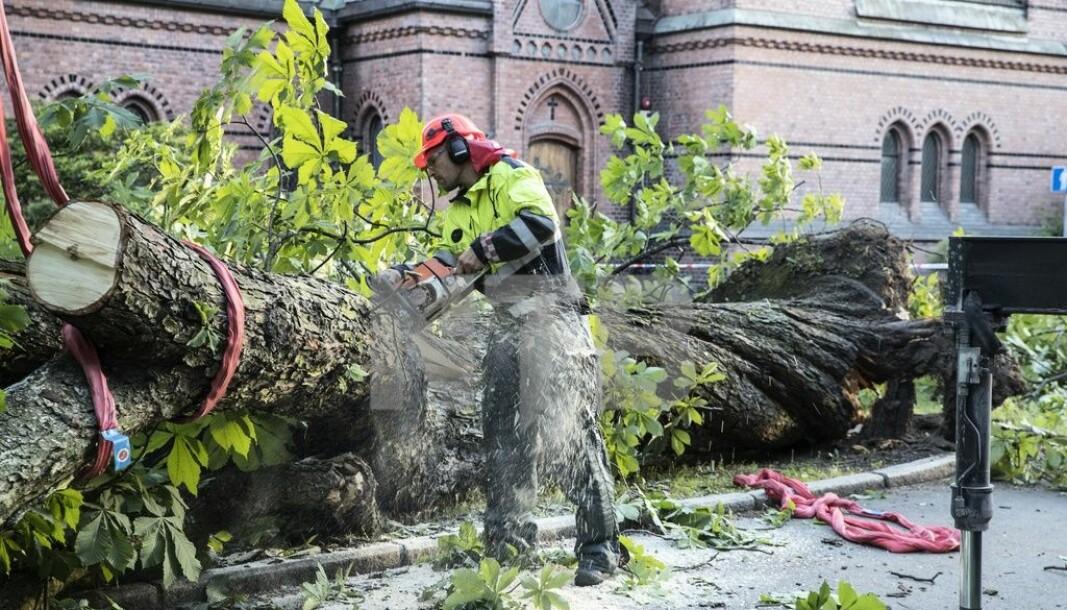 Bymiljøetaten gjør nå en opprydding blant byens trær.