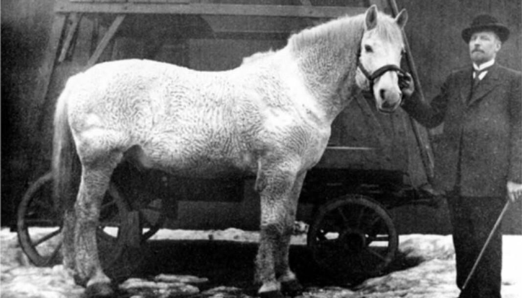 Nesten hvite Krølle med den spesielle pelsen var sporveiens mest populære hest. Da sporvognen ble elektrisk så folk på det som et stort framskritt, men de savnet Krølle. Her står han sammen med driftsbestyrer Poppe.