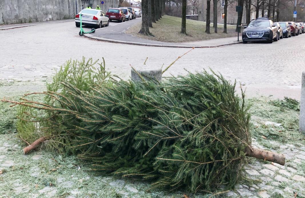 Dette juletreet lå igjen på brosteinen på Fagerborg i ettermiddag. Det har helt sikkert gledet mange i jula, men rakk ikke å komme seg med på lasteplanet til Renholds- og gjenvinningsetatens ryddebil sammen med alle de andre trærne.