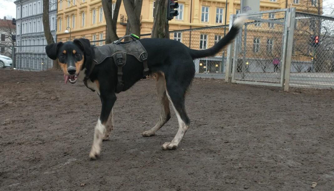Hundeparken øverst i Schweigaards gate, rett nedenfor Galgeberg i Gamle Oslo, er ett av mange steder i byen hvor hundene kan kose seg uten bånd.