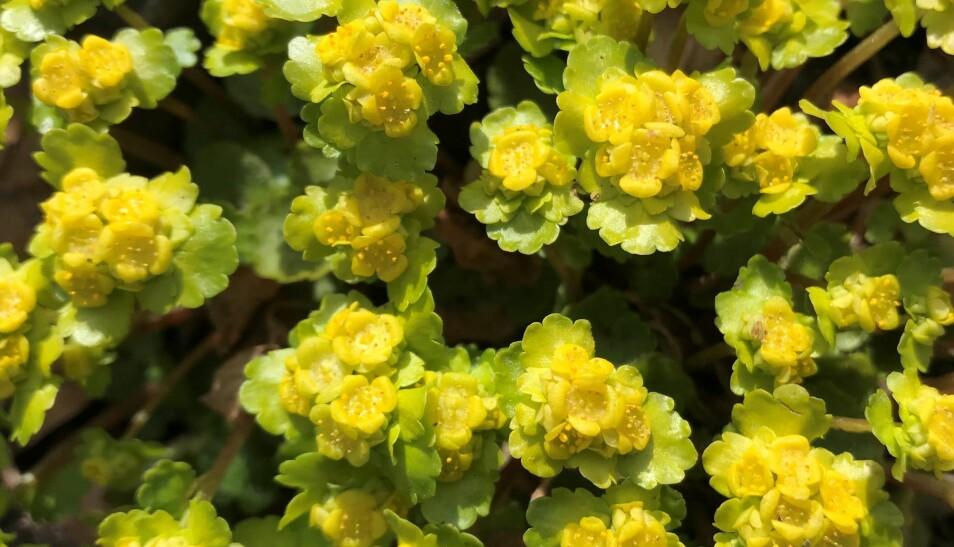 Se vårens første blomster i Botanisk hage på Tøyen. Her representert ved Maigull.