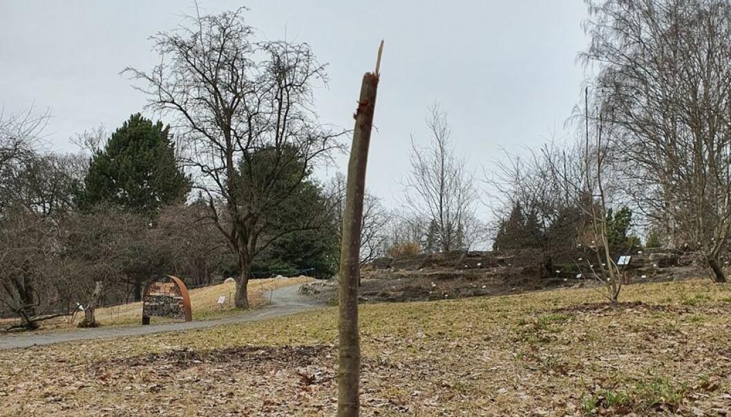 — Plantene våre er sårbare og noen er svært sjeldne, opplyser Botanisk hage som fortviler over at dette sjeldne, kinesiske treet trolig dør etter å ha blitt utsatt for hærverk i påsken.