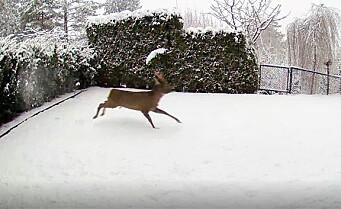 Her leker Mikkel Rev med Bambi i hagen til Marius på Trasop ved Østmarka. Se videoen