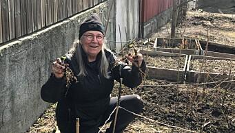 Sagenes bybønder bør ikke bekymre seg for miljøgifter: - Jorda plantene står i er ren og fersk