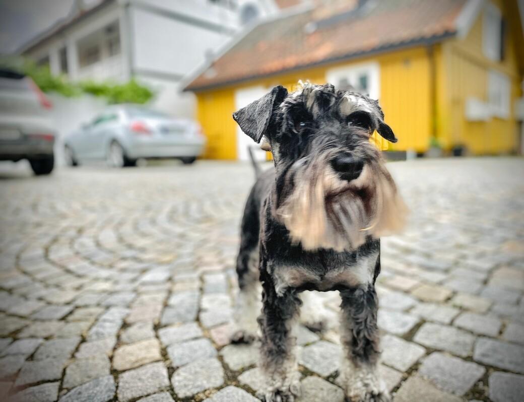 Dvergschnauzeren Victor møter mange korona-hunder på sine daglige turer på Torshov.