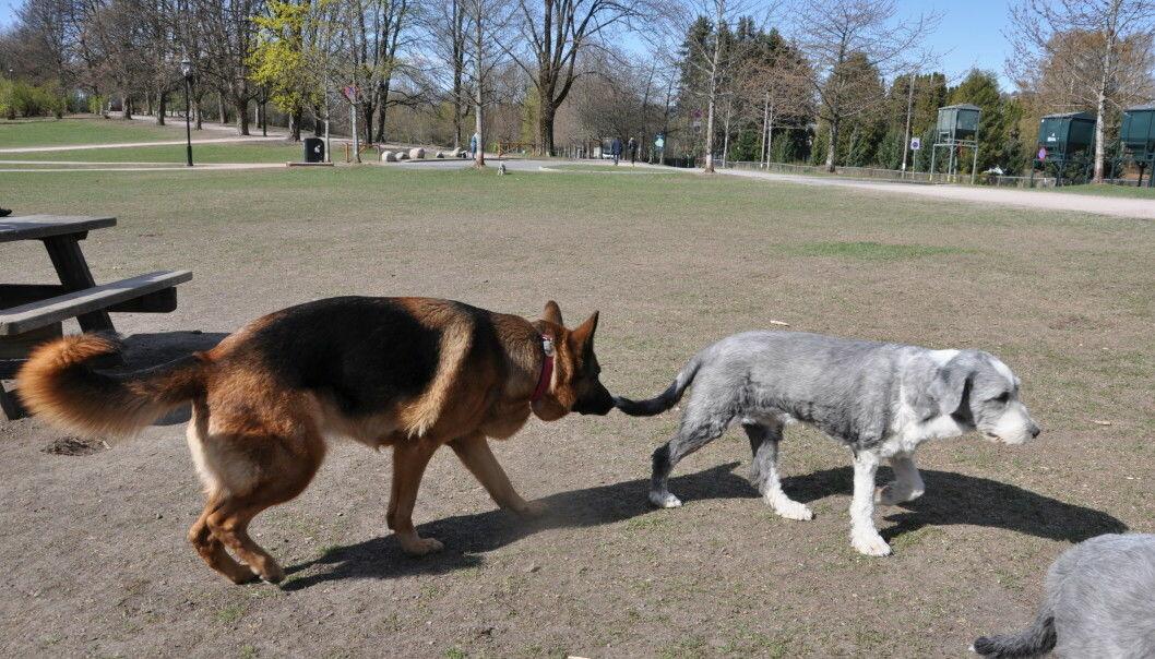 Bearded collien Lea (til h.) besøker hundejordet i Frognerparken for første gang under koronapandemien. Hun er litt skeptisk til at schäferhannen Jojo vil undersøke hvem hun er.