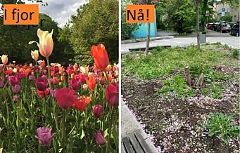 – Et trist syn, sier naboen Linda, om de manglende tulipanene ved St. Hanshaugen