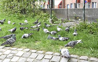 Skal bydel Gamle Oslo bruke 400.000 ekstra på å ikke drepe duer? Det strides lokalpolitikerne om