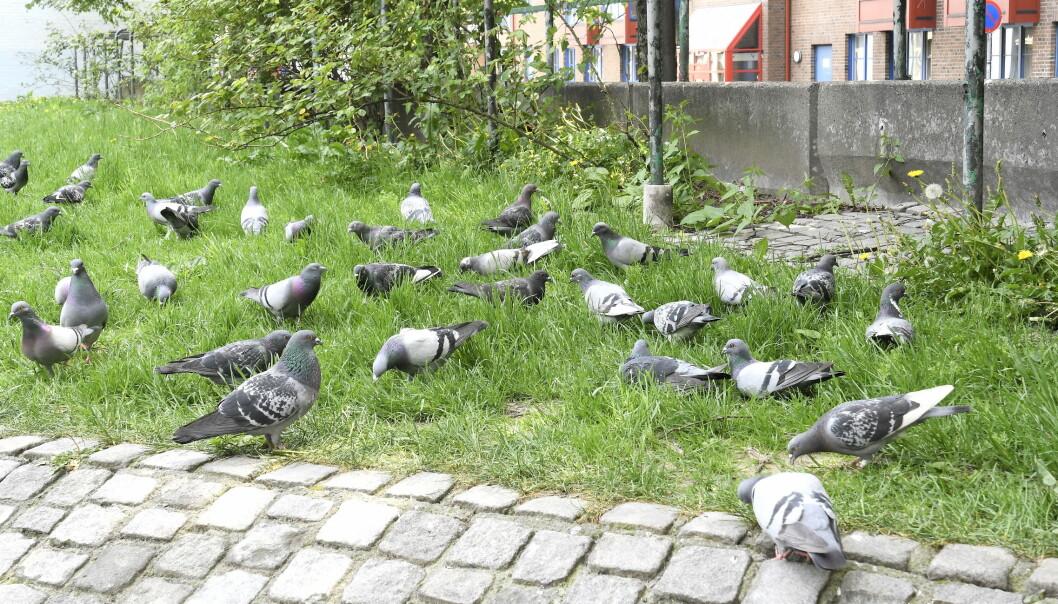 Duene er mange, og de trives godt i Urtehagen på Grønland.