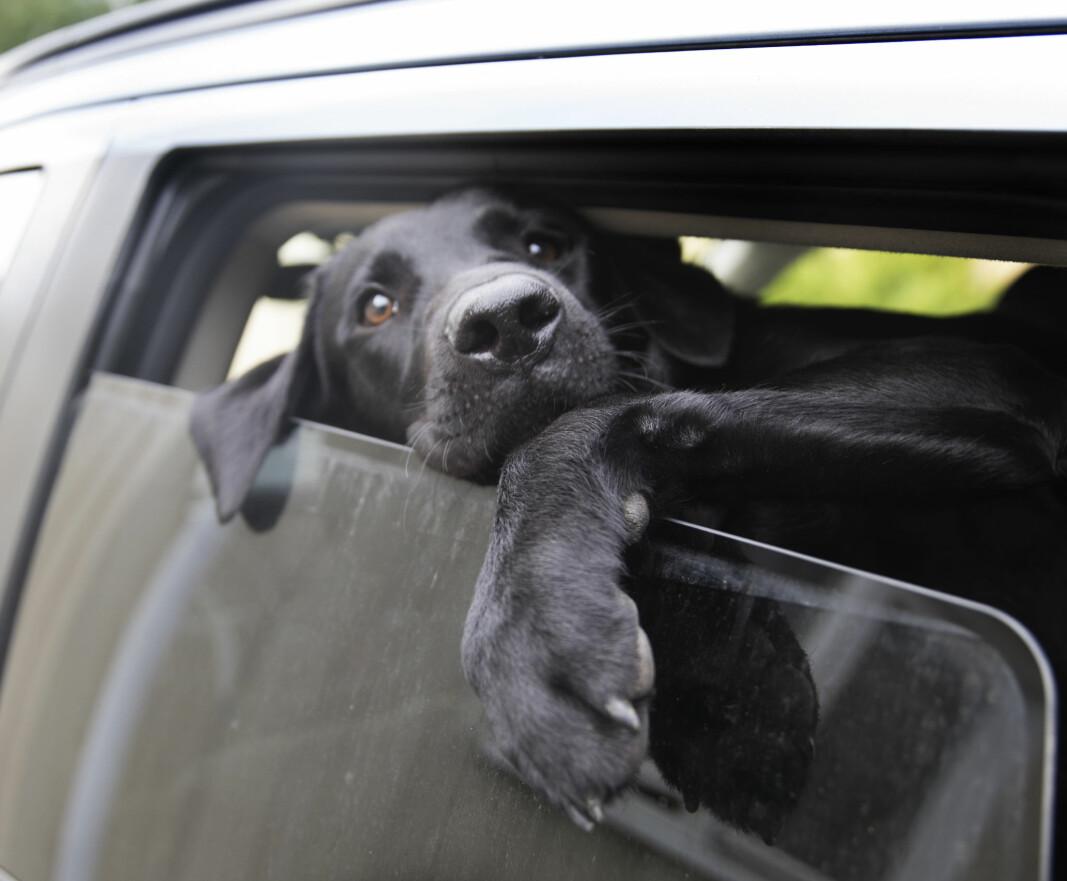 Politiet reagerer på at hunder etterlates i bilen på varme dager: — Det blir livstruende varmt for dyret på kort tid.