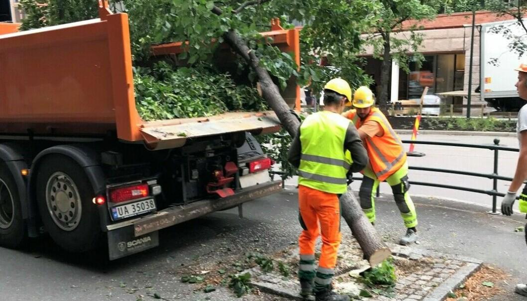 Det skal være enterpenørgiganten AF-gruppen som står bak trefellingen av fem 50 år gamle trær i Løkkeveien på Ruseløkka.