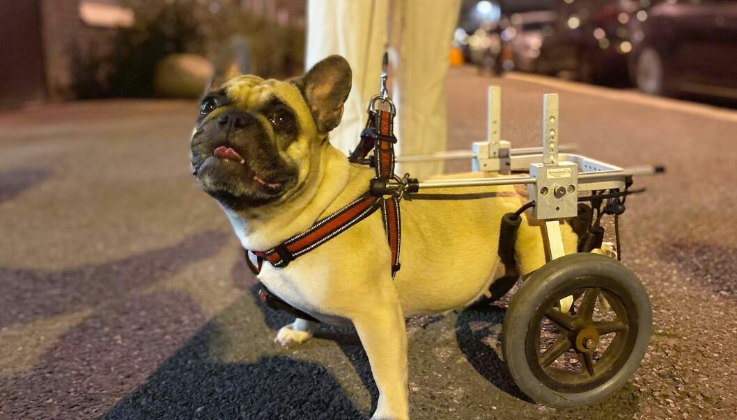 Dorris har fått rullestol og er akkurat den samme gode hunden som hun var før prolapsen.
