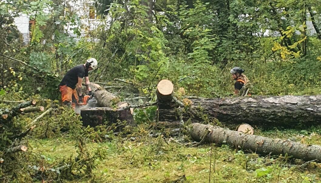 I parkområdet nord for Holmendammen har trefellere jobbet den siste uken. Bymiljøetaten hadde beordret huggingen.