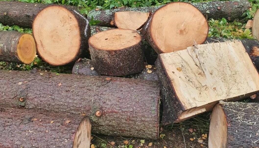 Claes Fries Thofte, som har skrevet debattinnlegget, fikk tilbud om å bruke disse stammene til ved da han spurte hvorfor trær ble kuttet ved Holmendammen.