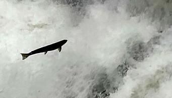Se laksen hoppe i Akerselva: - Det er sjukt mye fisk der nå!