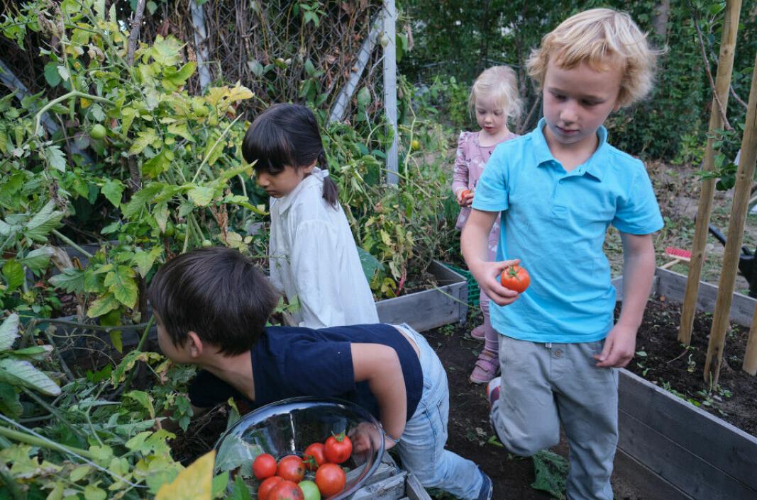 Barna i Sørenga barnehage høster modne tomater.