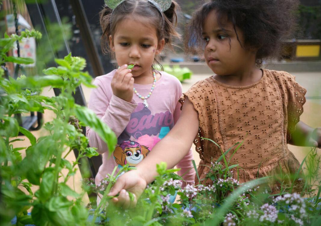 Barn i Strekkoden barnehage utforsker urtehagen.